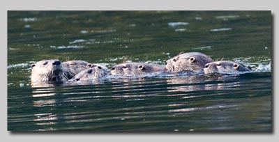 Otter family on the Snake river.