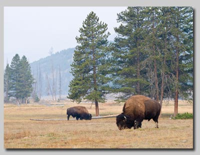 Bison grazing in meadow at Madison