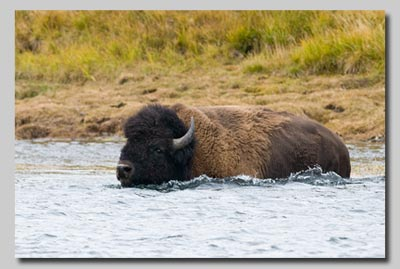 A Bison bull swimming the Hayden river.