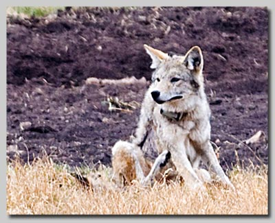 Wolf with radio tracking collar in the Lamar valley.