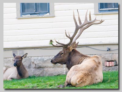 Elk lazing on the lawns at Mammoth Hot Springs.