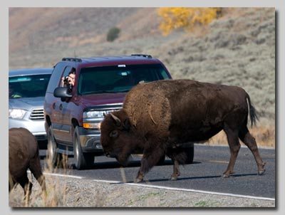 Bison crossing the road in the Lamar valley.
