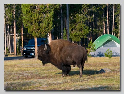 Bull Bison in the Madison campground.