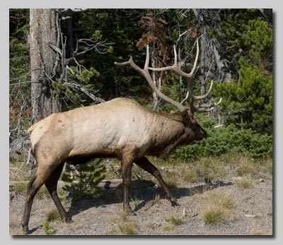A bull Elk along the road around the shore of the Yellowstone Lake.