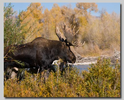 Bull Moose on the Gros Ventre campground.
