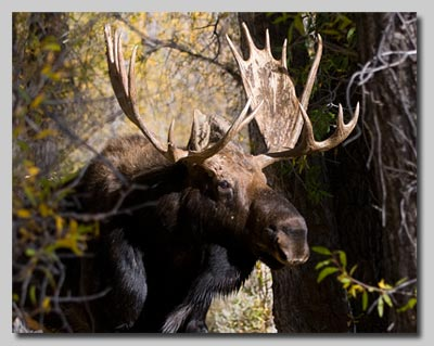 Bull Moose walking toward our camper and barbecue!