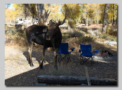 Bull Moose amongst our camping chairs as we cower in the half-open door of the campervan!