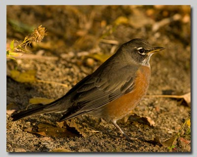 A North American Robin