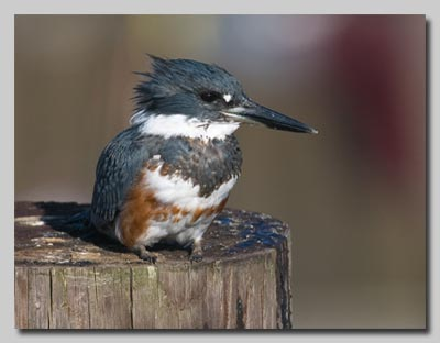 Belted Kingfisher from a previous trip to the US.